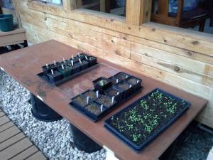 Solarium Seed Starting 2