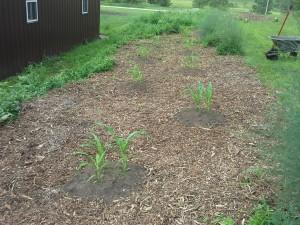 Three Sisters Garden 5