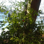 wintered tomato 1