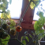 wintered tomato 2